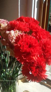 Rote Nelken zum Frauentag
